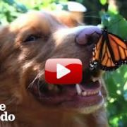 This Dog Is Best Friends With Butterflies #Video