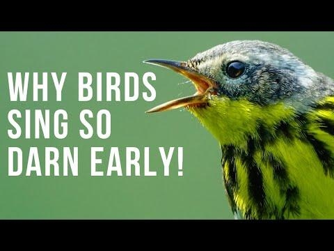 Why Birds Sing So Darn Early Video