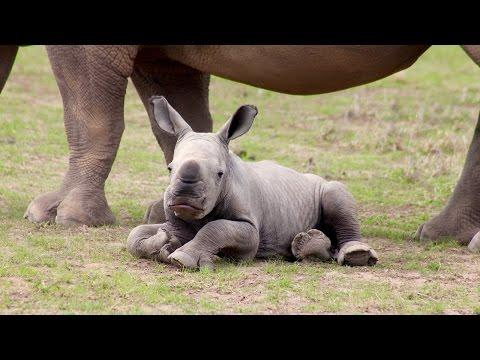 Ringo The Rescued Rhino Star Loves Being A Diva