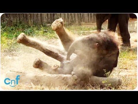 Adorable Baby Elephant Takes A Tumble