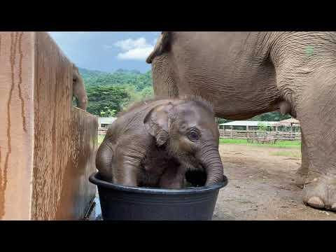 Cuteness Alert! Baby Elephant Wan Mai First Time in Bathtub