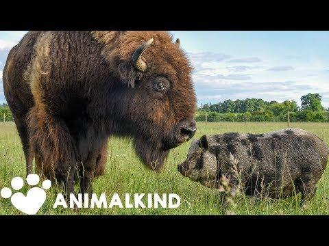 1200-pound bison takes care of every animal on farm video