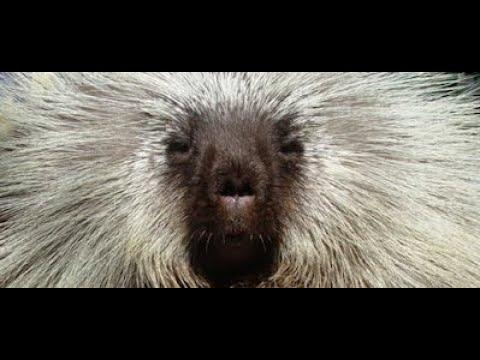 The Best of Teddy Bear the Porcupine
