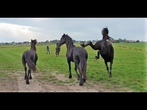 The young Friesian horses move to a different pasture with Uniek.