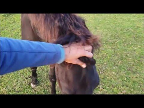 A walk through the meadow with 23 Friesian horses.
