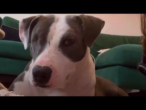 Shut-Down Pittie Transforms Into The Happiest Hippo #Video