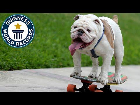Otto The Skateboarding Bulldog Sets Guinness World Records