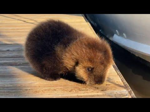 Baby Otter Rolls Down Wooden Dock to Its Mother Video