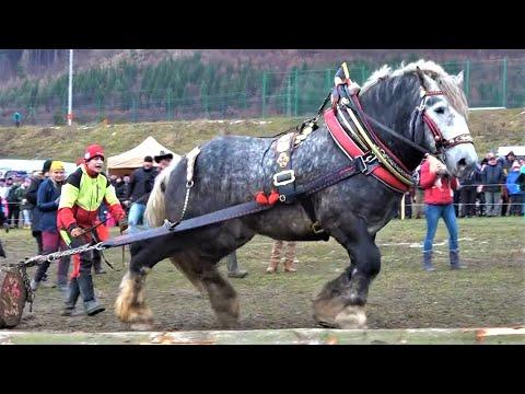 10 Most Powerful Horses in the World Video
