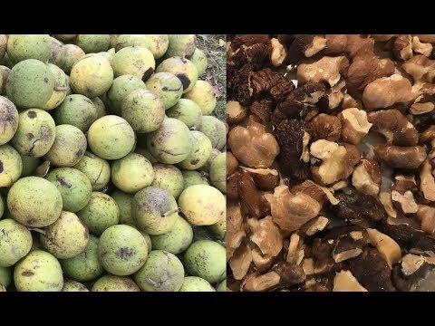 Black Walnut Harvesting:  From Start to Finish