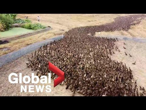"""Drone footage follows 10,000 ducks """"cleaning"""" rice paddies in Thailand #Video"""