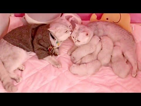 Proud Cat Parents And Their Adorable Newborn Kittens. Video.