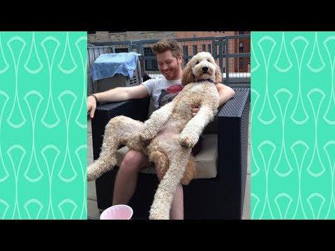 Cute Big Dog Thinks They are still Baby -  Funny Dogs want to more cuddle from owner