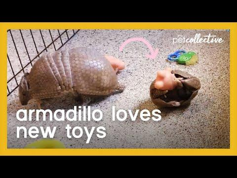 Armadillo Plays With Toys Video
