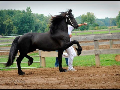Friesian Horse Keurings