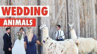 Wedding Pets | Funny Pets Video Compilation