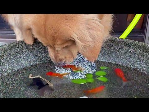 Gentle Golden Dog and His Goldfish Friends Video
