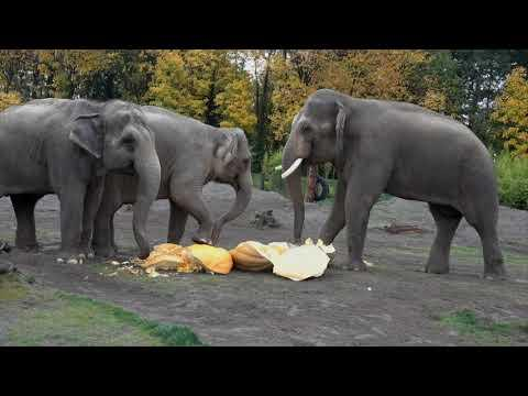 Giant Elephants Eat Giant Pumpkins at Squishing of the Squash 2019