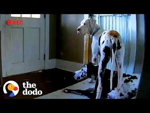 Dog Caught On Hidden Camera Doing The Sweetest Thing For Foster Brother #Video