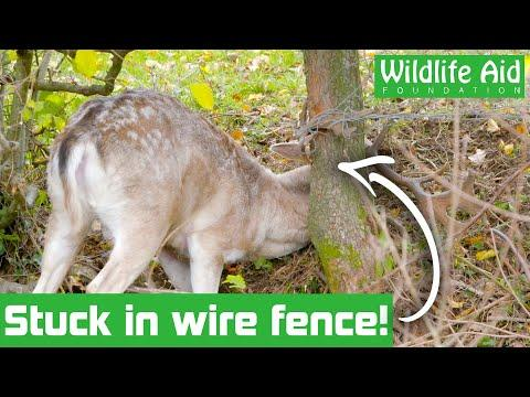 Rescuers rush to save trapped stag! - Dangerous rescue video!