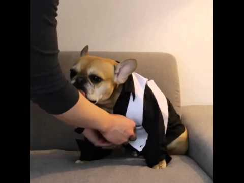 French Bulldog Gets Ready For A Night Out