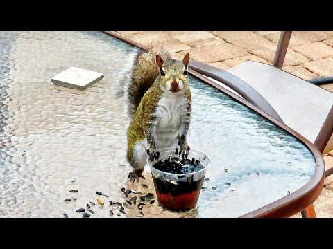 Squirrel Invents Sunflower Seed Tea Video