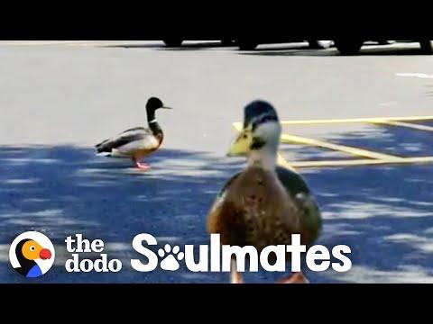 Watch This Wild Duck Bring His Girlfriend To Meet His Rescuer Video