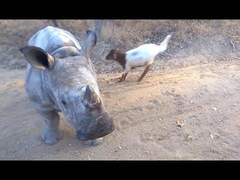 Rhino That Thinks It's A Goat. Your Daily Dose Of Internet