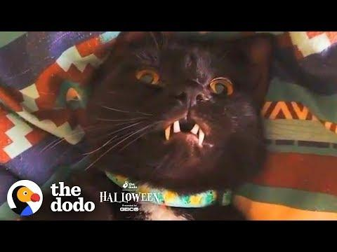 Cat With Fangs Might Actually Be A Vampire | The Dodo