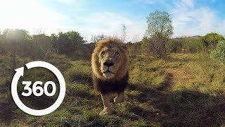 Lion Whisperer | Racing Extinction (360 Video)