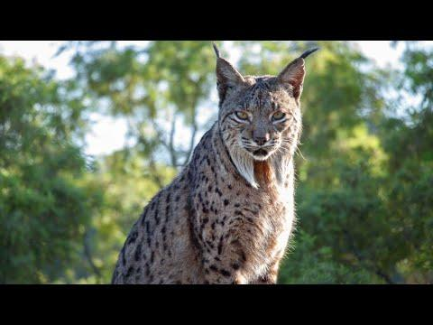 Reintroducing Europe's wildest cat | Seven Worlds, One Planet | BBC Earth