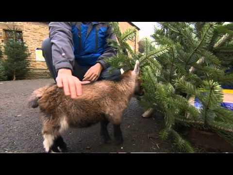 British Man Adopts Adorable Pygmy Goat
