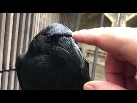 Raven sounds video
