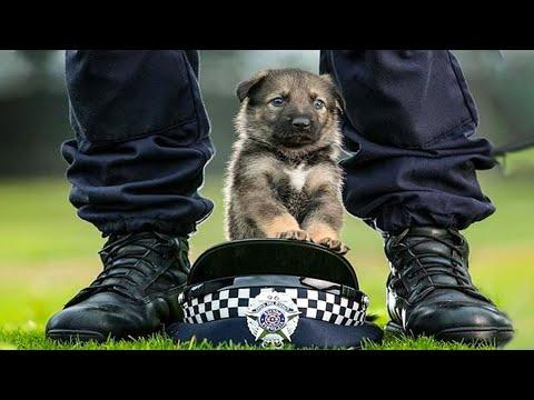 Funny and Cute German Shepherd Puppies Video Compilation #2 - Funniest GSD