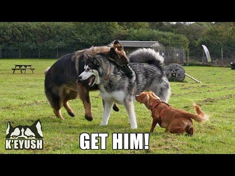 Husky Wrestles Shepherd While Puppy Referees! #Video
