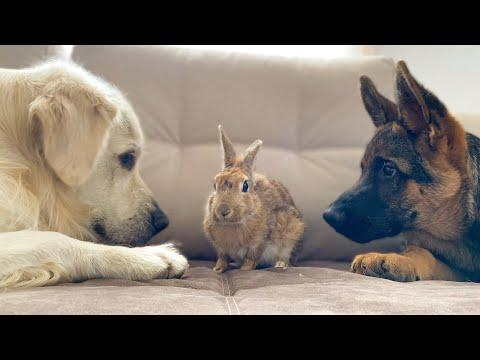 Golden Retriever and German Shepherd Puppy Play with Bunny Sam for the First Time! Video.