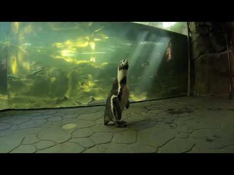 Nacho The Penguin Visits Rescued River Otters