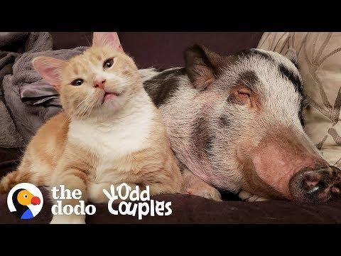 Watch This Pig Became The Big Brother Of Two Cats