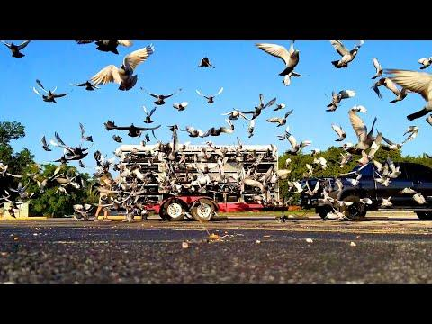 Professional Pigeon Racing - Texas Country Reporter Video