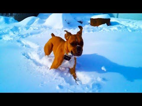 Boxers Playing in Snow Compilation