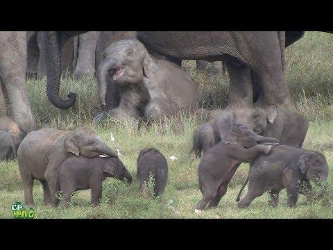 Play time of baby elephants video!