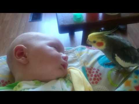 Cockatiel gives kisses and sings to a sleeping baby video.