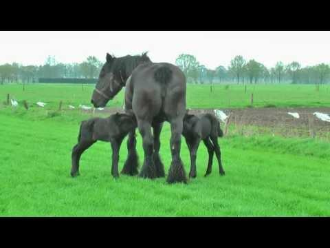 Baby Belgian Draft Horse Twins (4 Days Old)
