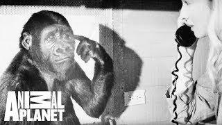 Animal Bites with Dave Salmoni: A Tribute to Koko the Gorilla