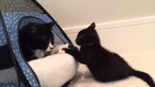Miracle Kitten Cassidy