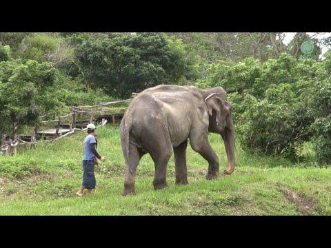 These Two Elephants Must Relocate Due To Covid - ElephantNews #Video