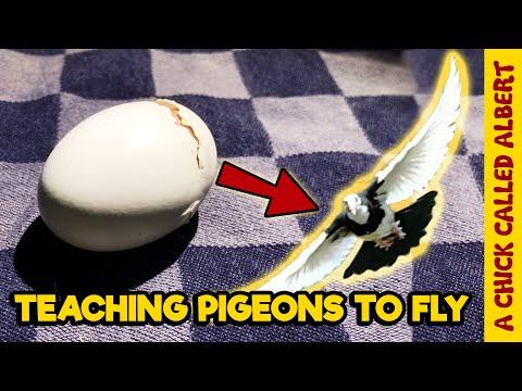 Hatching Pigeon Eggs that were Not Supposed to Be #Video