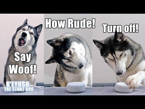 My Husky Talks to ALEXA And She Heard Him! Video.