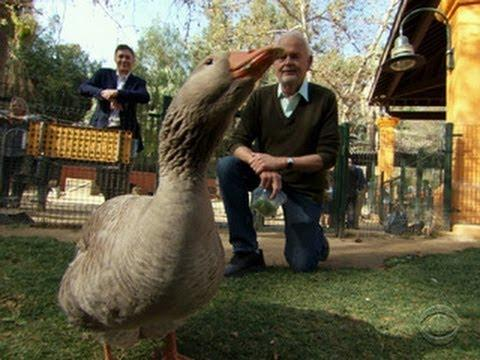 A Man Changed Forever By A Goose's Love!