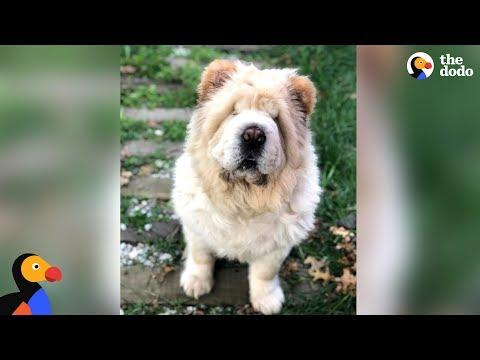 Dog Looks Exactly Like A Big Teddy Bear